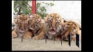 В мексикански зоопарк показаха бебета бенгалски тигри