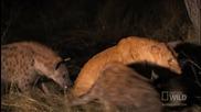 Лъвица срещу Хиени - Най-смъртоносните в света