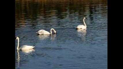 Лебедово Езеро - Увертюра - Чайковски
