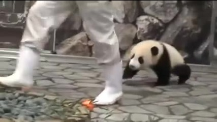 Малка панда си играе с оператор