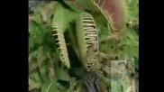 Цвете хищник