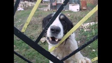 Един истински пазач - Роко ( Българско овчарско куче, а на тлъст и лигав санбернар)