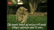Най - скъпата котка в света 20хил. долара