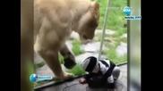 Лъв се опитва да хване бебе Новини