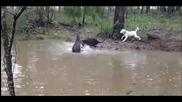 Изплашено кенгуру се опитва да удави куче във водата
