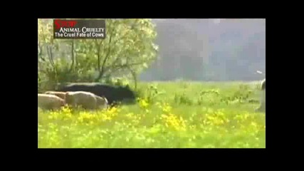 Жестоката съдба на кравите