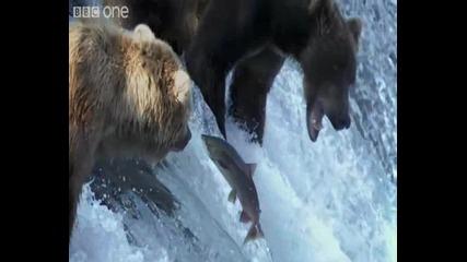 Как се хранят Белите мечки (bbc)