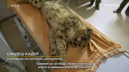 NG Wild | Пострадал Снежен леопард