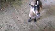 Козите отново с хитово парче в интернет. Смях! -