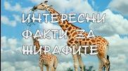 Факт : Интересни факти за жирафите