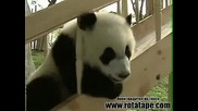 Най-смешните и мили панди - Забавно видео с пандички, които се борят