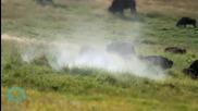 Какво се случва с дивите бизони в Монтана