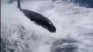 Косатки преследват бързо движеща се яхта