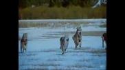 Танцът На Вълците