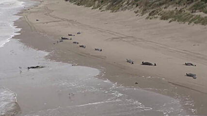 Australia:15 dead whales buried at sea after mass stranding in Tasmania