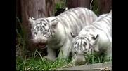 Много Сладки, Малки , Бели Тигърчета