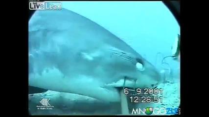 Чудовищна тигрова акула