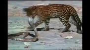 Леопард срещу Кралска Кобра