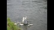 Майка с лебедчета