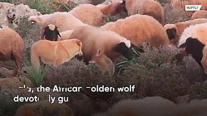 7y/o boy tames wild wolf