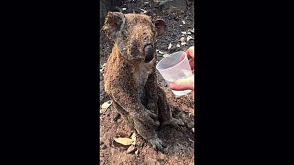 Rescued koala takes her first sips of water after being rescued from bushfire