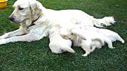 Красив Голдън Ретривър - майка с малките