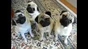 Четири много сладки мопсчета!