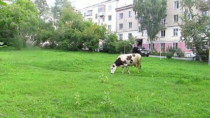 Корова пастся во дворах г.сатки 2015