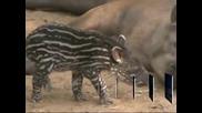 В сафари парк в Израел се роди бебе тапир
