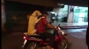Вижте как лабрадор се вози на скутер, държи и чадър със зъбите си