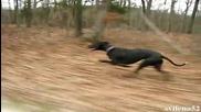 Хрътка бяга с 60 км/h