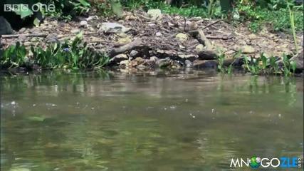 Гущера който тича по вода