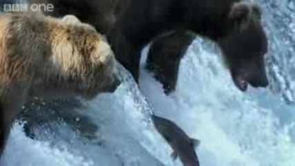 Grizzly Bears Catching Salmon - Natures Great Events: The Great Salmon Run