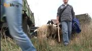 Джина Стоева_ Отиваме на село да пасем овцете