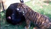 Игриви малки тигърчета