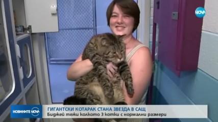 Гигантска котка стана звезда в САЩ