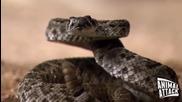 Голяма земна кукувица атакува Гърмяща змия
