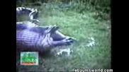 Изваждат От Змия Хипопотам!!!(неописуемо)