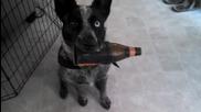 Куче носи бира на собственика си.