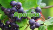 Лечебните ползи на Аронията