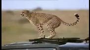 гепарда намери къде да се изходи