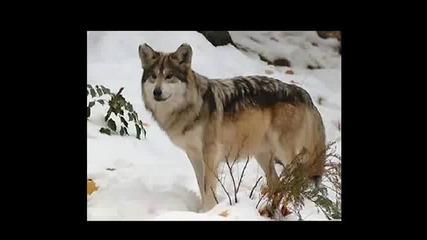 Kaskata - Вълци /bg Sub /