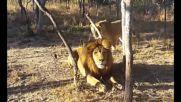 Дори царя на джунглата се стряска от лъвицата!