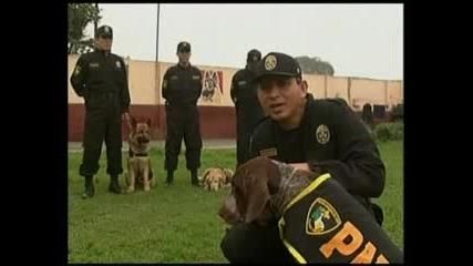 Перуанско куче боксьор