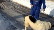 бок бългърско овчарско куче