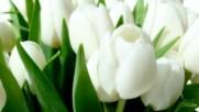 Giovanni Marradi - Petite Fleur - White tulips