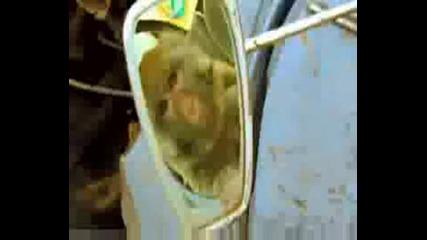 маймуни крадци