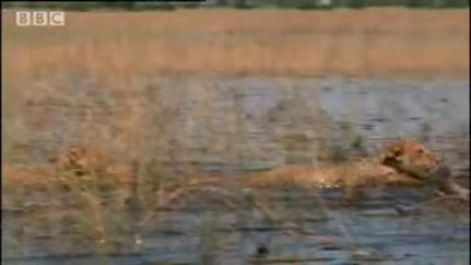 Youtube - Lion cubs swim away from danger - Bbc wildlife