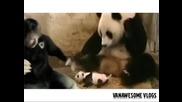Кихащата панда (пародия на оригинала)