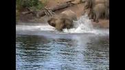 Крокодил захапва слон за хобота